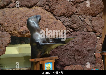 A sea lion is an aquatic mammal generally found in shallow waters. They learnt it to make a show in pool. - Stock Photo