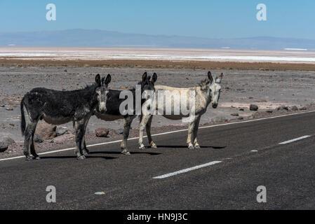 three Wild donkeys on the road in Atacama desert, Atacama salt lake - Stock Photo