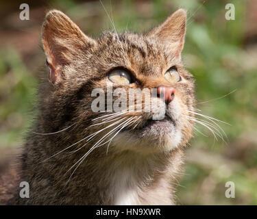 Wild Cat (Felis silvestris) - Stock Photo