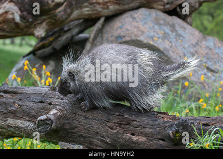 Porcupine on dead log with yellow flowers and grass - Stock Photo