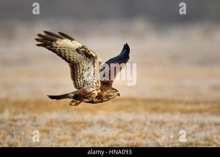 Buzzard (Buteo buteo) in flight over meadow, Lodz Province, Poland - Stock Photo