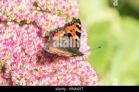 Small Tortoishell Butterfly, Aglais urticaria, on Sedum (Hylotelephium spectabile) in a Yorkshire garden - Stock Photo