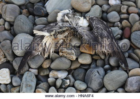 The skeleton of a dead sea bird on stones on the island of Achill off Ireland's western seaboard. - Stock Photo