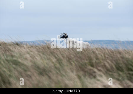 Ewe (female sheep) on Cam High Road, Hawes, North Yorkshire, on a windy day - Stock Photo