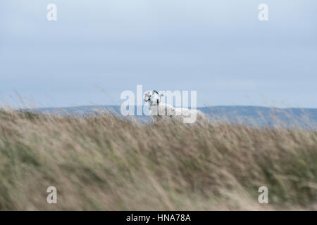 Ewe on Cam High Road, Hawes, North Yorkshire, on a windy day - Stock Photo