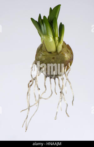 Spanish bluebell, Hyacinthoides hispanica,  bulb with leaf and root development in late winter - Stock Photo