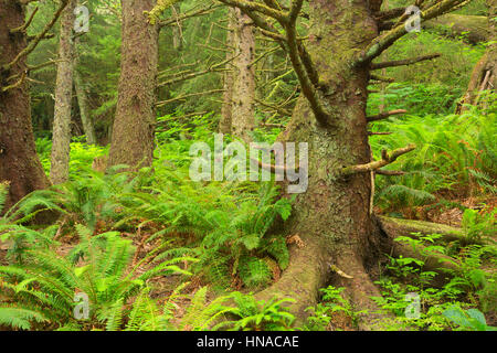 coastal sitka spruce - photo #41