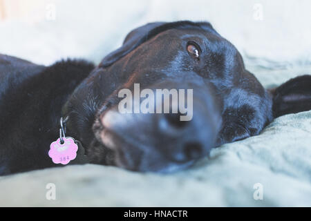 Big black dog resting on bed - Stock Photo