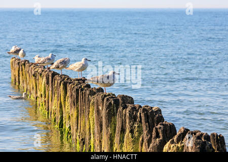 A few seagulls sits on wooden breakwaters in the waters of the Baltic Sea in Kolobrzeg, Poland - Stock Photo