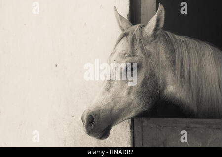Arabian Horse in a sandy ranch/ featuring Arabian Horse in a sandy field in sunny day - Stock Photo