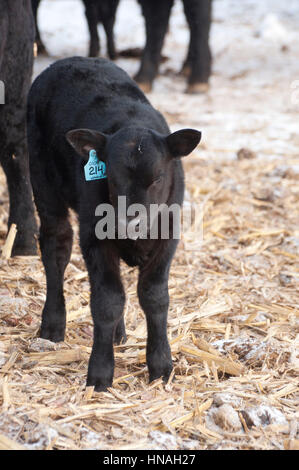 A calf stands in the barn yard with icicles clinging to its chin, photographed in Waterloo, IA, USA. - Stock Photo