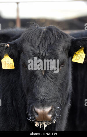An adult tagged cow stares at the camera with icicles hanging from its chin taken in Waterloo, WA, USA. - Stock Photo