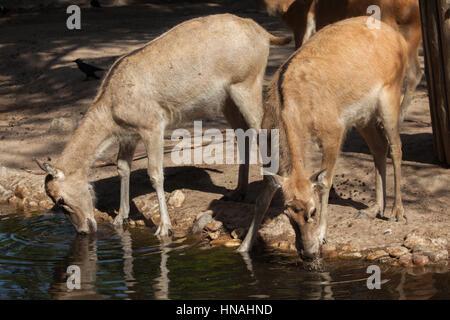 Pere David's deer (Elaphurus davidianus), also known as the milu. - Stock Photo