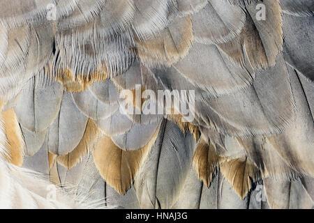 feathers of a Sandhill crane, Antigone canadensis, George C. Reifel Migratory Bird Sanctuary, Delta, British Columbia, - Stock Photo