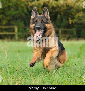 german shepherd dog running - Stock Photo