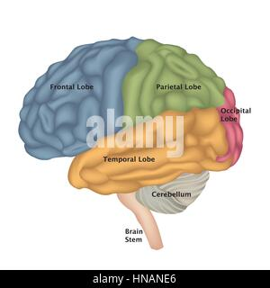 Brain anatomy. Human brain lateral view. Illustration isolated on white background. - Stock Photo