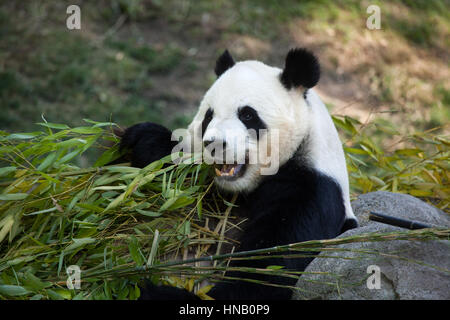 Giant panda (Ailuropoda melanoleuca) eating bamboo at Madrid Zoo, Spain. - Stock Photo