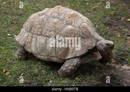 Leopard tortoise (Stigmochelys pardalis). Wildlife animal. - Stock Photo
