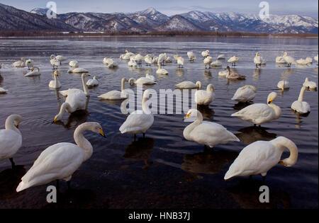 Panorama, panoramic, Whopper Swans (Cygnus cygnus) in Lake Kussharo,Akan National Park,Hokkaido,Japan - Stock Photo
