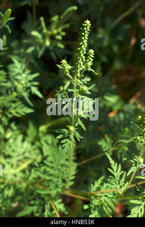Ambrosia artemisiifolia inflorescence - Stock Photo