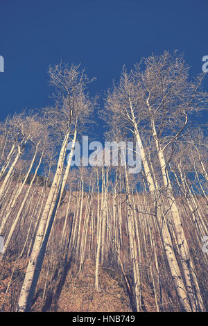 Retro color toned autumn leafless birch trees, looking up perspective. - Stock Photo