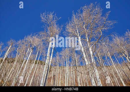 Autumn leafless birch trees on a sunny day, looking up perspective, nature wallpaper. - Stock Photo