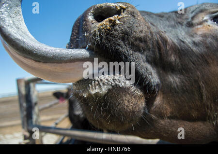 Cow licking - Stock Photo
