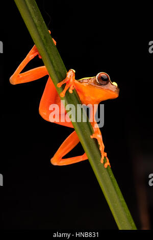 Leaf or tree frog, Dendropsophus leucophyllatus. Treefrog with vibrant red color from the Amazon rain forest in - Stock Photo
