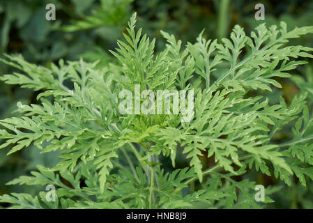 Ambrosia artemisiifolia - Stock Photo
