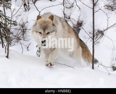 Gray Wolf; Canus Lupus; British Columbia; Canada - Stock Photo