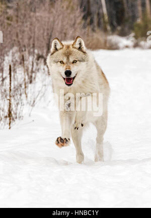 Gray Wolf; Canus Lupus; British Columbia; Canada - Stock Photo