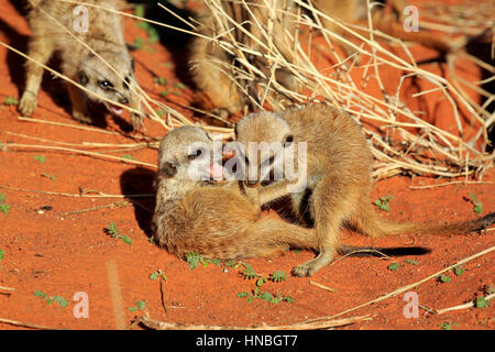 Suricate,  (Suricata suricatta), youngs playing in morning sun, Tswalu Game Reserve, Kalahari, Northern Cape, South Africa, Africa,Meerkat, Meerkats Stock Photo