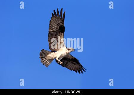 Osprey, (Pandion haliaetus carolinensis), Sanibel Island, Florida, USA, Northamerica, adult flying - Stock Photo