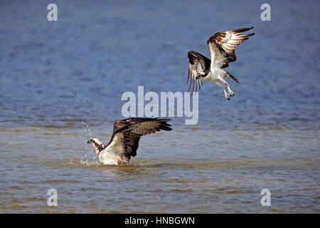 Osprey, (Pandion haliaetus carolinensis), Sanibel Island, Florida, USA, Northamerica, adult couple bathing - Stock Photo