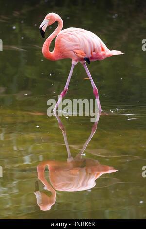 American Flamingo (Phoenicopterus ruber) reflected. - Stock Photo