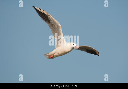 Slender-billed Gull - Larus genei - Stock Photo