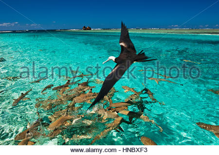 Blacktip reef shark and a frigatebird search for food in the shallow waters of the inside lagoon of Millennium Atoll. - Stock Photo