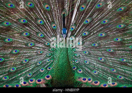 Peacock displaying tail feathers - Stock Photo