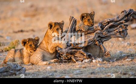 Lion Cubs, Etosha National Park, Namibia - Stock Photo