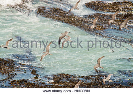 A flock of Inca Tern, Larosterna inca, fly in formation bellow their nesting cliff. - Stock Photo