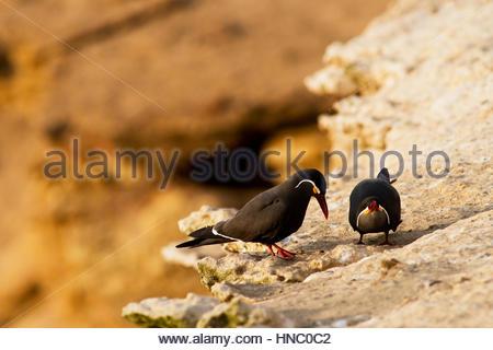 A pair of Inca Tern, Larosterna inca, court on a high cliffside, Peru. - Stock Photo
