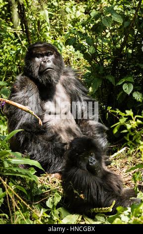 Isabukuru Mountain Gorillas (Gorilla beringei beringei), Volcanoes National Park, Parc National des Volcans, Rwanda - Stock Photo
