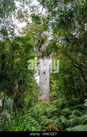 Oldest Kauri tree, Tāne Mahuta, Lord of the forest or god of the forest, dense rainforest, Waipoua Forest, Northland - Stock Photo