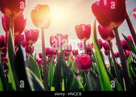 Pink tulips in Holland. - Stock Photo