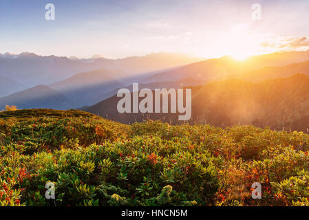 Blooming rhododendron flowers in Caucasus mountains - Stock Photo
