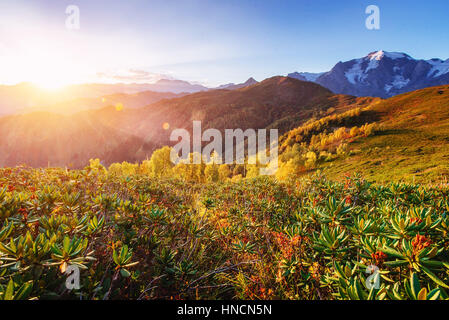 Blooming rhododendron flowers in Caucasus mountains. Upper Svane - Stock Photo