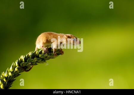 Harvest mouse leaning from the top of a wheat ear - Stock Photo