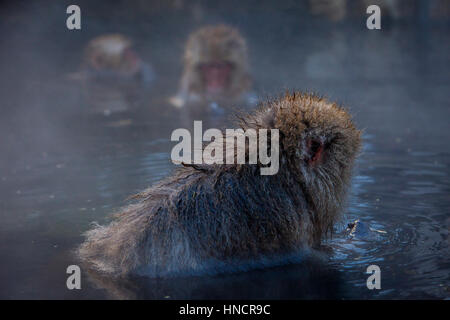 Monkeys in a natural onsen (hot spring), located in Jigokudani Monkey Park, Nagono prefecture,Japan. - Stock Photo