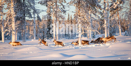 A flock of reindeer running in the deep snow of an arctic pine woods. A sunny winter day in Swedish Lapland - Stock Photo