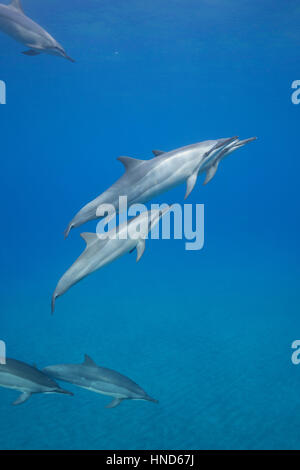 Hawaiian spinner dolphins or Gray's spinner dolphin, Stenella longirostris longirostris, Hookena, South Kona, Hawaii - Stock Photo